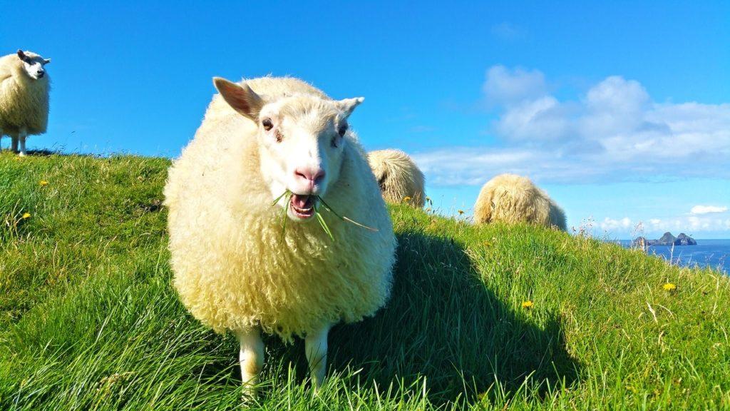 アイスランディックシープが草を食べている所