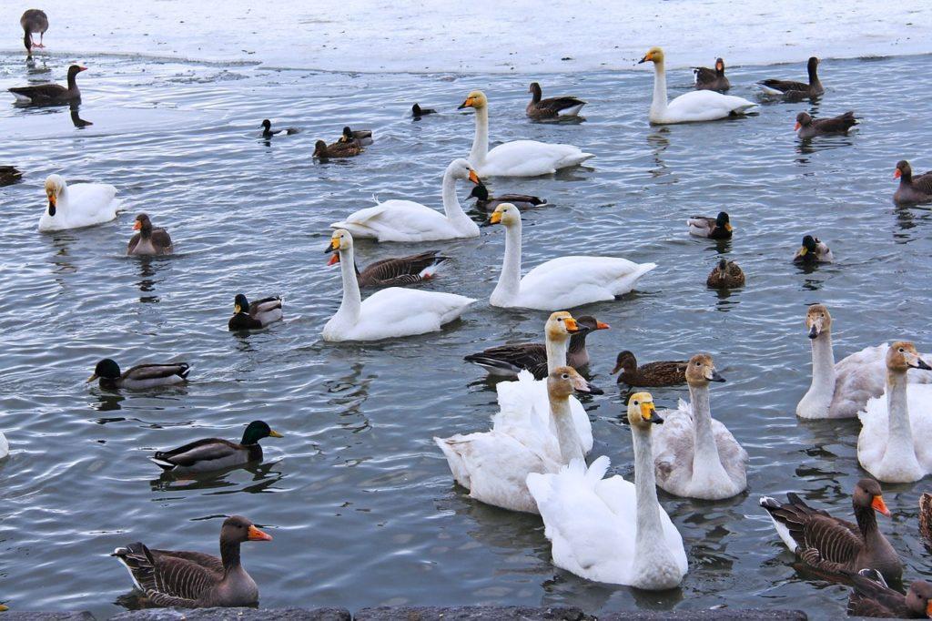 チョルトニン湖にいる水鳥
