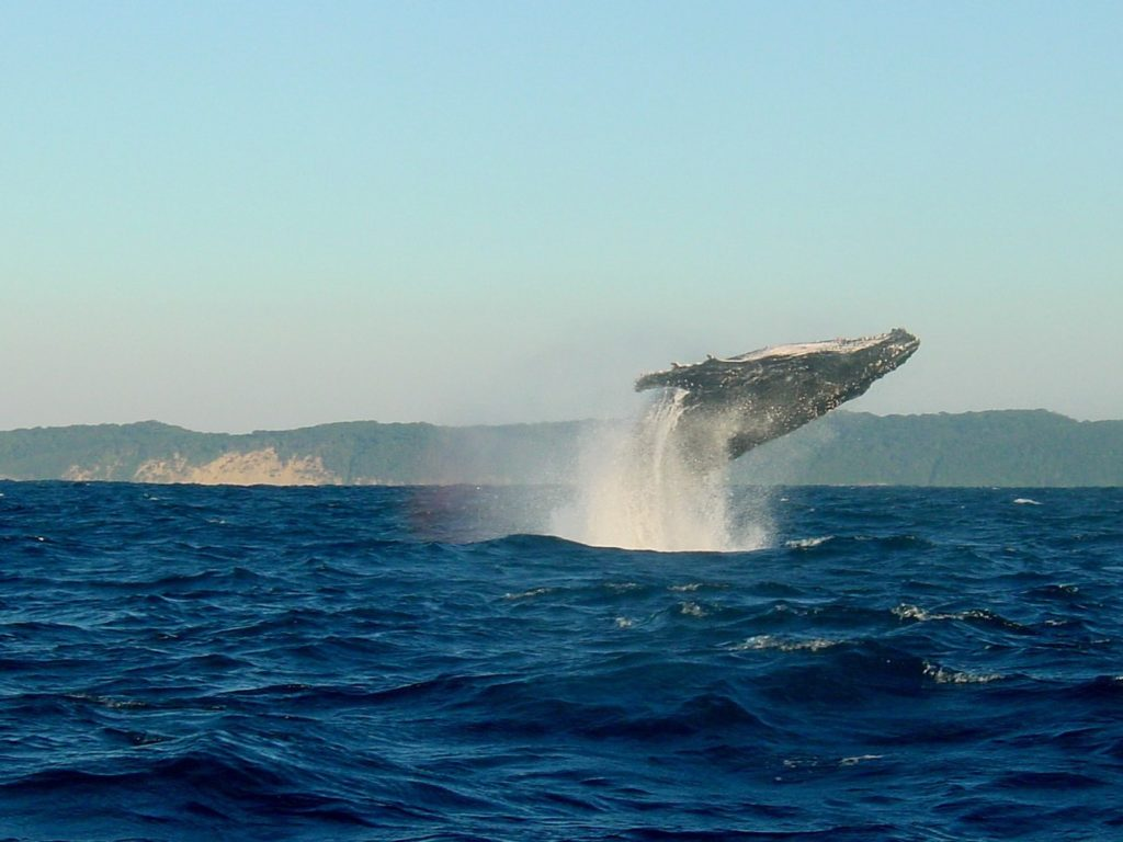 アイスランド近海のクジラがジャンプしている姿