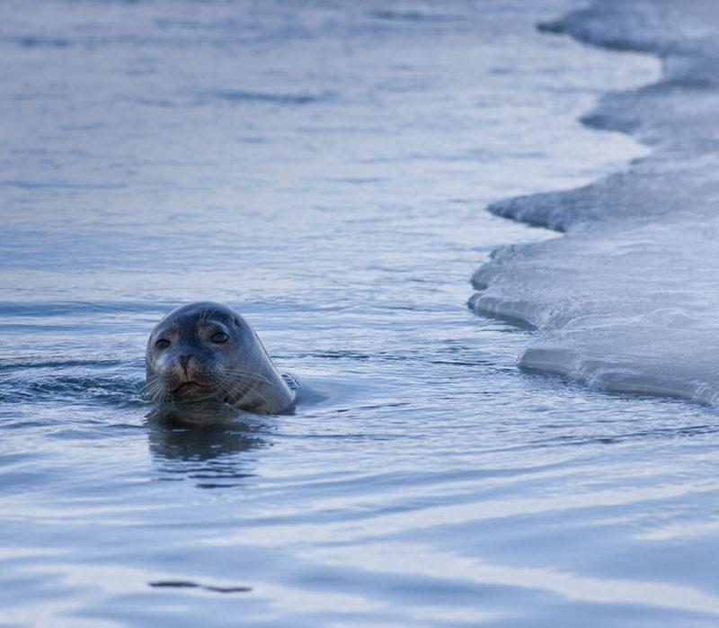 ヨークルスアゥルロゥン氷河湖でみられるアザラシ