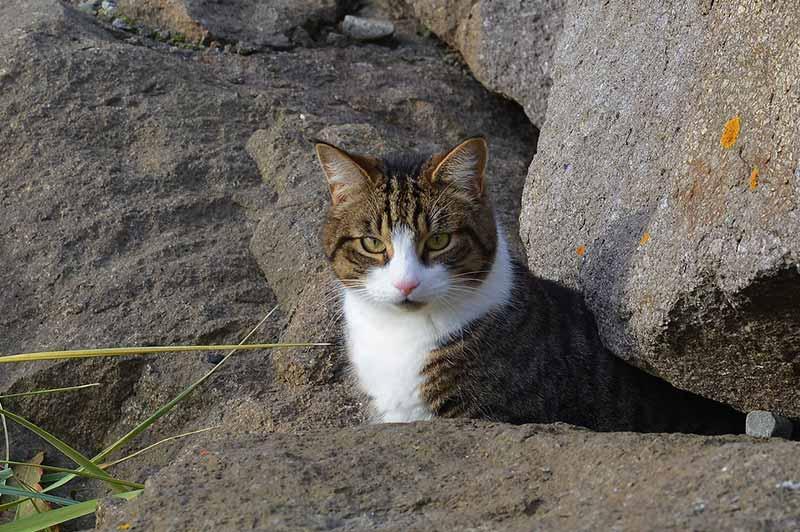 アイスランドの猫